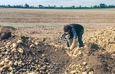Extrait : Les patates en cœur