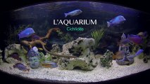 Aquarium Cichlidés  600 L - GoPro HD