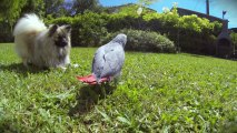 Perroquet gris Gabon et Chien Spitz Nain de sortie au jardin - GoPro HD
