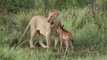 Une Lionne sauve un bébé Gnou de l'attaque d'un autre lion. Impressionnant!