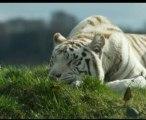 White tiger facts (Panthera tigris tigris)