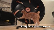 Un chat fait de la roue de hamster