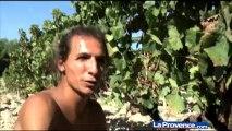 Rosé de Provence : fin des vendanges en pays d'Aix