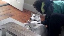 Un chien qui dit NON NON NON - Husky trop mignon!