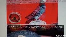 SPRZEDANA! DV-7458 Son of Ramses x Meulemans KULBACKI RACING PIGEON STUD- Hodowla Gołębi Sportowych, гулаб kukupa balandis balodis golubica 비둘기 ಡವ טויב 鳩 chol merpati tus nquab कबूतर יונה kurciya ti pijon ડવ περιστέρι pombo colombe kyyhkynen tuvi pigeon