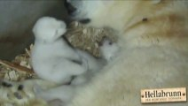 So cute Polar Bear Cubs Open Eyes for First Time