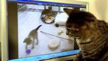 Un chat devient fou en voyant des chatons à la TV!