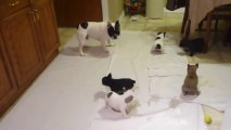 Bouledogue français joue avec ses chiots