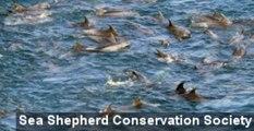 Annual Taiji Cove Dolphin Hunt Continues Despite Controversy