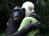 Le geste émouvant d'un chimpanzé à Jane Goodall