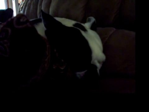 Boston Terrier Snoring