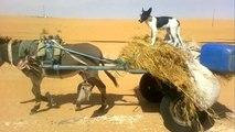 Un chien conduit un âne en Algérie