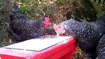 Des poules font la Teuf un fois leur maitre parti travaillé. Hilarant!
