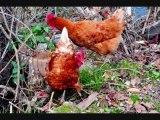 poules mes poules