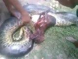 Un chien pitbull rétrouvé mort dans le ventre d'un anaconda