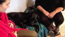 """Mdr on dresse un chien Labrador Delirant """"vu à la TV"""" par SIS 72"""