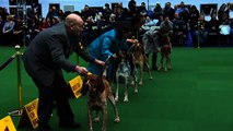 Westminster Kennel Club prepares to name top dog