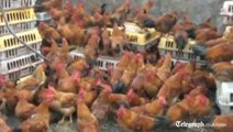 Chinese chickens make daring motorway escape bid