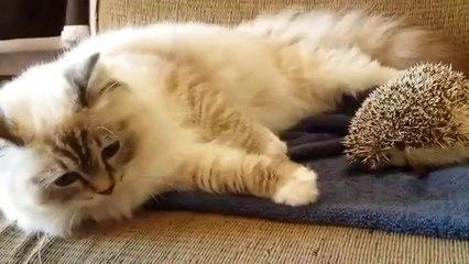 Seltsame Begegnung der dritten Art: Die Katze und der Igel