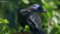 Unbelievable intelligence! Genius crow solves 8 complex puzzles in perfect order