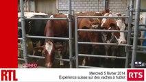 """Suisse : expérience sur des """"vaches à hublot"""""""