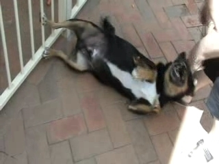 Trying to get collar on mischievous dog