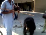 Bear with His Master doing the Dance in Commercial Market Rawalpindi Pakistan