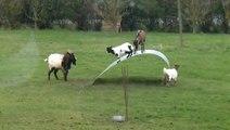 Nova Diversão Para As Cabras