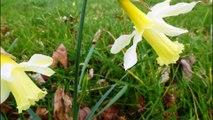 Ecologistas alertan: Los Narcisos salvajes de Asturias en peligro