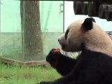 Les deux pandas belges