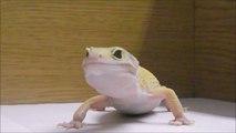 Adopt a Leopard Gecko - The Lizard House Reptile Rescue