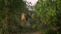[National Geographic] Wild White Lions of South Africa PBS Nature & Animals Documentary_(360p)