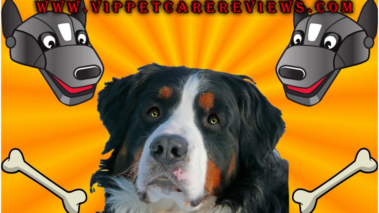 Pet Care The Saint Bernard Dog Breed