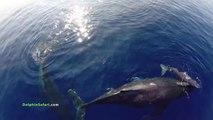 Des centaines de Dauphins et Baleines filmés au Drone. Impressionnant!