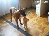 Un petit chat essaie de voler la nourriture du gros chien. Enorme!
