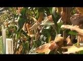 Predstavljanje hibrida šeste grupe zrenja, Institut za kukuruz Zemun polje_ 337 _01.02.2014.