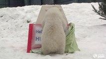 Un jeune ours polaire en captivité au zoo de Toronto révèle son nom... Marrant!