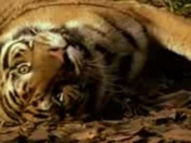 Le tigri Reali - Animali bellissimi!