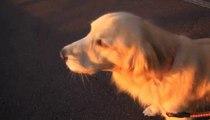 Funny Dog Imitant Sirènes - Chien Mocking Sirènes sonores