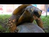 Une tortue s'accouple et fait des bruits bizarres