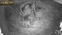 Premières images de trois bébés tigres de Sumatra au zoo de Londres