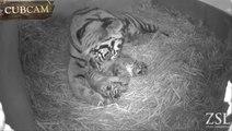 Trois bébés tigres de Sumatra naissent au zoo de Londres
