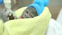 Naissance d'un bébé Gorille... Trop mignon!