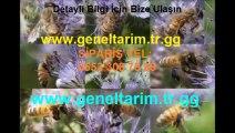 arı-otu-fiyatları,arı-otu-satışı,arı-otu-fiyatları,ari-otu-tohumu,arı-otu-ekim-zamanı, Arı otu, Arı otu tohumu, arıotu tohumu, arı otu tohumu fiyatı