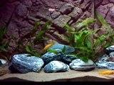 Julidochromis Regani Kipili Sauvages + Neolamprologus Leleupi Uvira Sauvages + Julidochromis Ornatus Zambie Sauvages