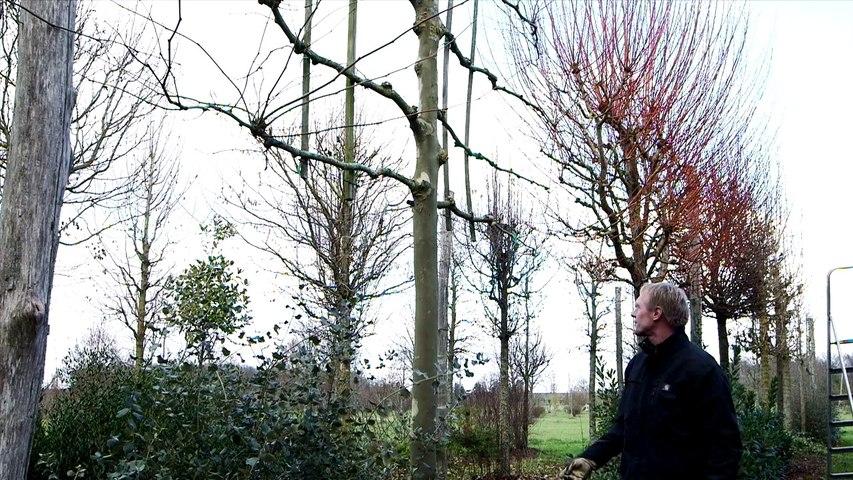 La formation d'un arbre palissé.