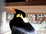 BIRD IMITATES CELL PHONE SOUNDS