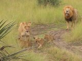 Baby lion cubs trying to roar like there father.... ROAAAAR, so cute!