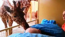 Watch: Giraffe kisses terminally ill zoo employee