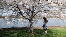 Cherry Blossoms: April 12 at the Anacostia River